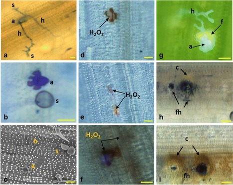 The non-host pathogen Puccinia triticina elicits an active transcriptional response in rice   Rice Blast   Scoop.it