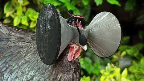Le poulet en batterie élevé en réalité virtuelle bientôt sur votre broche!! | alimentation | Scoop.it