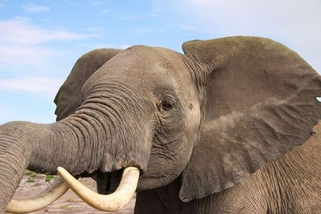 Elephants Know How Dangerous We Are From How We Speak | #WildlifeWatch | Scoop.it