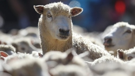 Massey University study reveals feelings of empathy in sheep | Animals R Us | Scoop.it