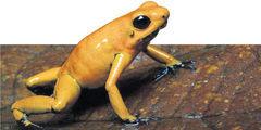 En Cauca habita la rana  'terribilis', la más venenosa del mundo - eltiempo.com | Reflejos | Scoop.it