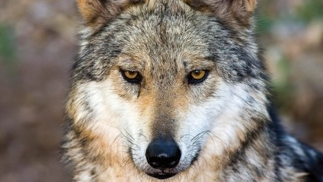 How the wolf became the dog | Science&Nature | Scoop.it
