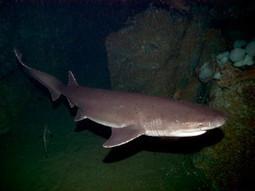 Uno squalo manzo di 7 metri catturato nei fondali dell'Adriatico - Meteo Web | Pescare e la Pesca Sportiva | Scoop.it