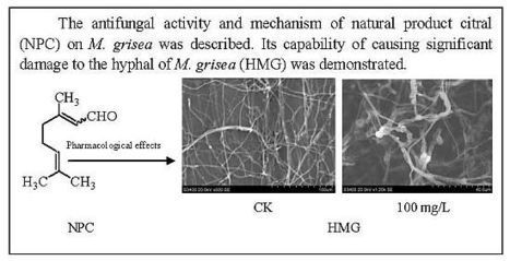 The Natural Product Citral Can Cause Significant Damage to the Hyphal Cell Walls of Magnaporthe grisea | Rice Blast | Scoop.it