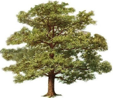 All you need to know about Oak trees | A Little Bird | Blog Posts & Articles | Scoop.it