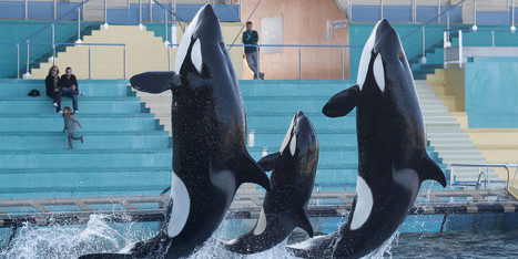 New Bill Aims To Stop SeaWorld From Making Orcas Perform | Current Events | Scoop.it