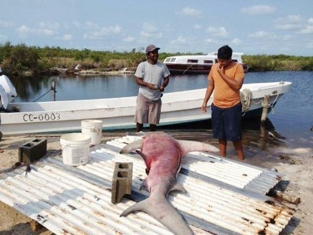 Why are globally endangered great hammerhead sharks still being fished by locals? - The San Pedro Sun News | Belize in Social Media | Scoop.it