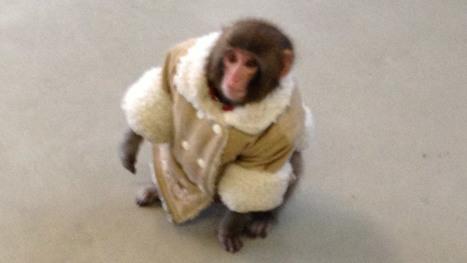 Toronto Ikea monkey a social media sensation - CBC.ca | Media Relations Articles: Rob Ford | Scoop.it