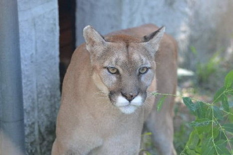Staten Island's New Dorp High School raises funds to adopt an abused cougar rescued by zoo | Zoos should not exist | Scoop.it