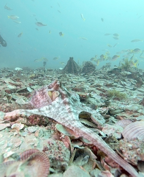 Octopus fights caught on tape   Oceans and Wildlife   Scoop.it