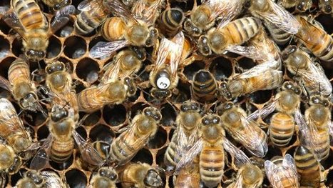Building a better Canadian honey bee | Farming, Forests, Water, Fishing and Environment | Scoop.it