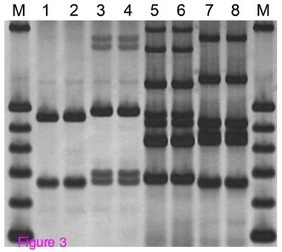 Method: New and improved multiplex PCR Weeding the Gems | GARNet Plant Science Community | Scoop.it
