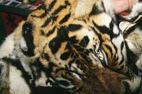 TRAFFIC Notorious wildlife dealer caught red-handed inIndia | Wildlife Trafficking: Who Does it? Allows it? | Scoop.it