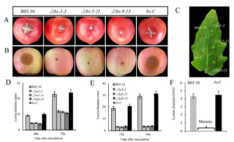 Knocking Out Bcsas1 in Botrytis cinerea Impacts Growth, Development, and Secretion of Extracellular Proteins, Which Decreases Virulence | Plant pathogen | Scoop.it
