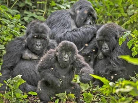 VIRUNGA: Critically endangered gorillas hang on by a thread | Biodiversity IS Life  – #Conservation #Ecosystems #Wildlife #Rivers #Forests #Environment | Scoop.it