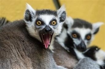 Deux nouvelles espèces de lémuriens identifiées à Madagascar - Le Progrès | baobab | Scoop.it