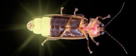 Biomimétisme : Des LED plus performantes grâce aux lucioles | EntomoNews | Scoop.it