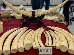 Wildlife moving from the plate to the cabinet with younger consumers | Wildlife Trafficking: Who Does it? Allows it? | Scoop.it