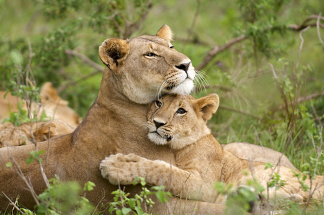 How many #lions are left in the wild? #science #poaching | Messenger for mother Earth | Scoop.it