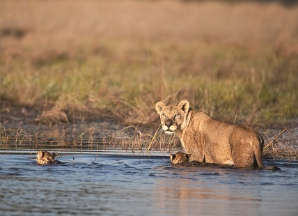News - Are wetland lions a genetically distinct... | Global change | Scoop.it