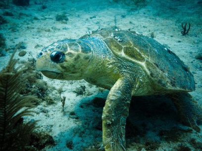 Bachelor's paradise: Female turtles outnumbering males due to warming temps: Climate change posing long-term stability challenges for turtles | Marine Conservation Research | Scoop.it