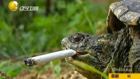 Turtle Got Addicted to Cigarettes - Odd Events, Weird Places ... | In Today's News of the Weird | Scoop.it