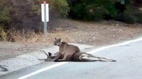 Rare sight: Mountain lion hovering over its kill caught on camera in California   Xposed   Scoop.it