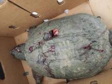 Une tortue tuée à coups de clubs de golf - Sudinfo.be | Golf News by Mygolfexpert.com | Scoop.it
