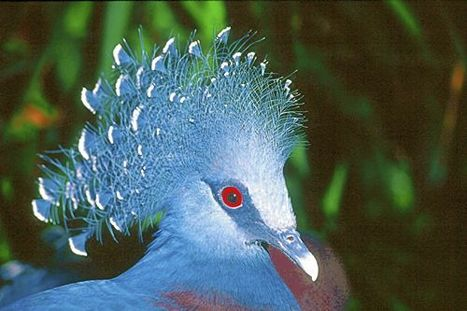 Let's Talk About Birds: Victoria Crowned Pigeons - Pittsburgh Post Gazette | World Environment Nature News | Scoop.it