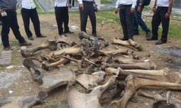 Ivory Traders Arrested in Indonesia | EcoWatch | Scoop.it