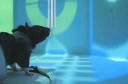 Virtual Reality Stunts Rat's Sense of Space - Wired | Tecnologías de Información y Comunicación, desde el punto de vista de Jacqueline Mejia Luna | Scoop.it