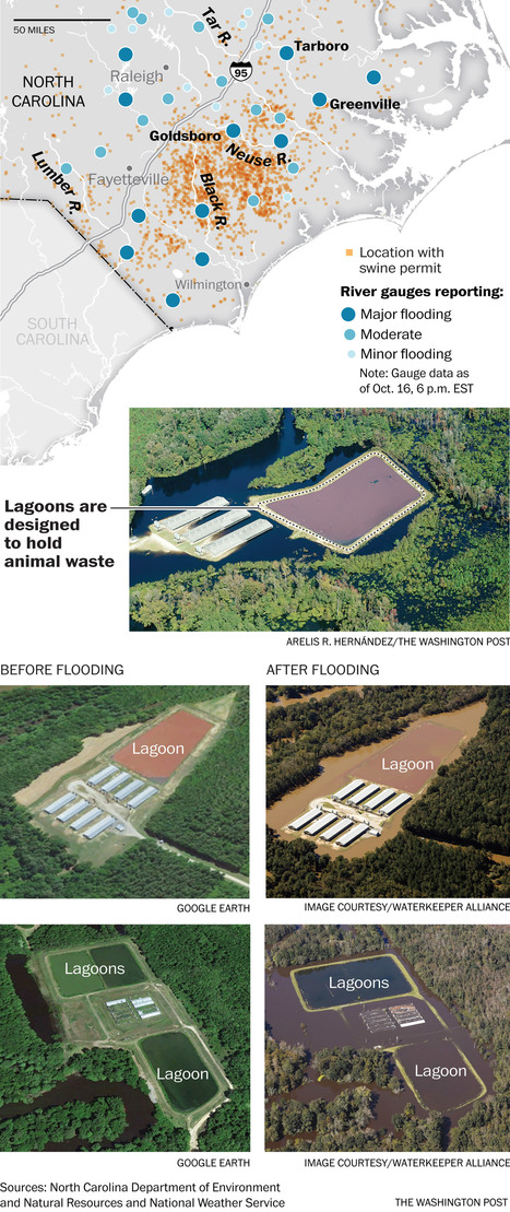 Factory farming practices are under scrutiny again in N.C. after disastrous hurricane floods | Geography Education | Scoop.it