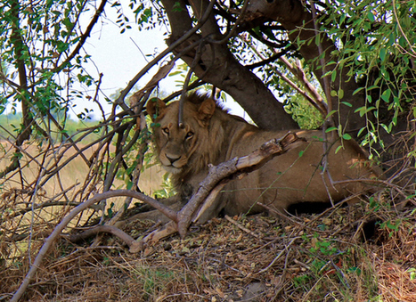Why Killing A Lion Is The Most Cowardly Thing You Can Do | Environmental Crime - Delitos ambientales | Scoop.it