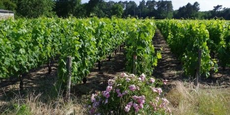 "Le management environnemental du vignoble bordelais reconnu | ""Viticulture en gironde"" 