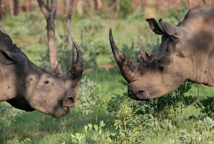 People Are Actually Breeding Rhinos To Cut Off Their Horns - Conservation Action Trust | Conservation | Scoop.it