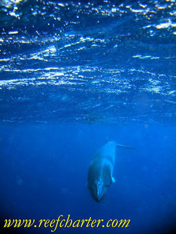 Minke Whales – Species of the Reef | Great Barrier Reef | Cairns, Australia | GBR Geography | Scoop.it