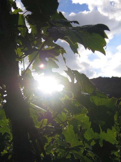 Champagne: La machine à vendanger avance | Winemak-in | Scoop.it