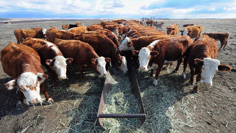 Calif. Could Become Toughest State on Use of Livestock Antibiotics - California Report | Agriculture | Scoop.it