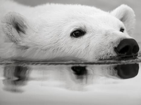 EN IMAGES. La douceur de l'Arctique vue en noir et blanc | Photographie | Scoop.it