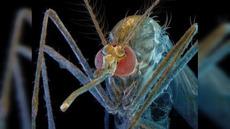 Mosquitos genéticamente modificados, ¿una solución o un peligro? | Ciencia, política y Derecho | Scoop.it