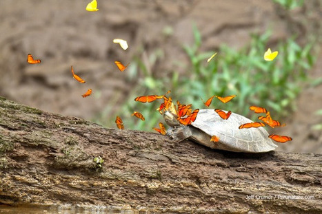 This cool photo shows a swarm of butterflies drinking a turtle's tears | Malaysian Youth Scene | Scoop.it