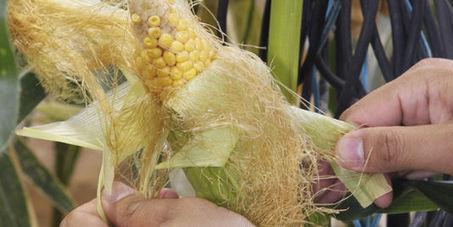 L'Union européenne autorise l'importation et la commercialisation de 17 OGM - le Monde   Actualités écologie   Scoop.it
