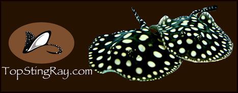 Ils vendent des raies pour aquarium ! | Rays' world - Le monde des raies | Scoop.it