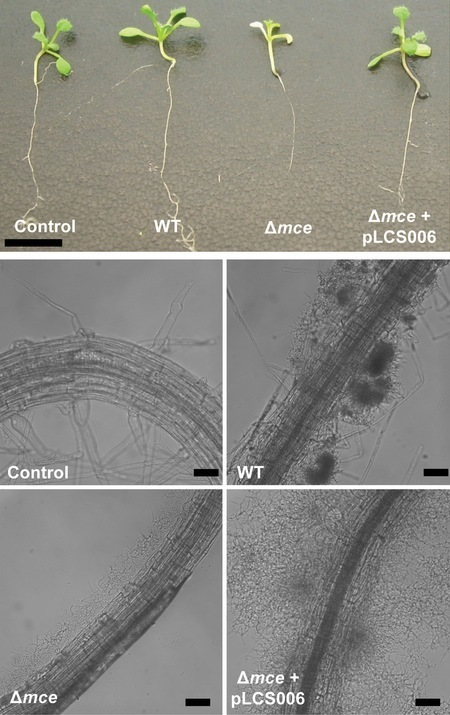 Scientific Reports: Mammalian cell entry genes in Streptomyces may provide clues to the evolution of bacterial virulence (2013) | Emerging Research in Plant Cell Biology | Scoop.it