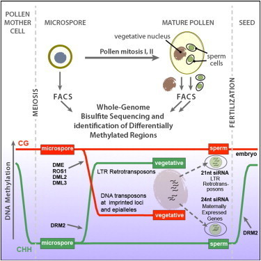 Cell - Reprogramming of DNA Methylation in Pollen Guides Epigenetic Inheritance via Small RNA | Arabidopsis | Scoop.it