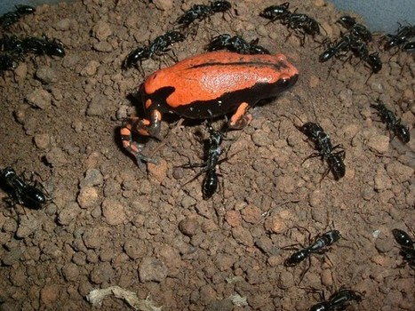 Chemical Camo Helps Frog Pass as Ant—And Avoid Being Stung ...   REPTILICIOUS   Scoop.it