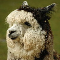 Put Some Alpaca Into Your Knitting | Allergy Treatment | Scoop.it