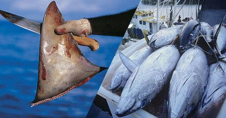 35 faits terrifiants qui vous alarmeront sur les conséquences catastrophiques de la surpêche   Environnement et developpement durable   Scoop.it