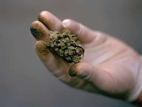 Science Seeks to Unlock Secrets of Cannabis | Drugs, Society, Human Rights & Justice | Scoop.it