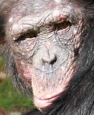 Nids au sol pour les chimpanzés   Aux origines   Scoop.it